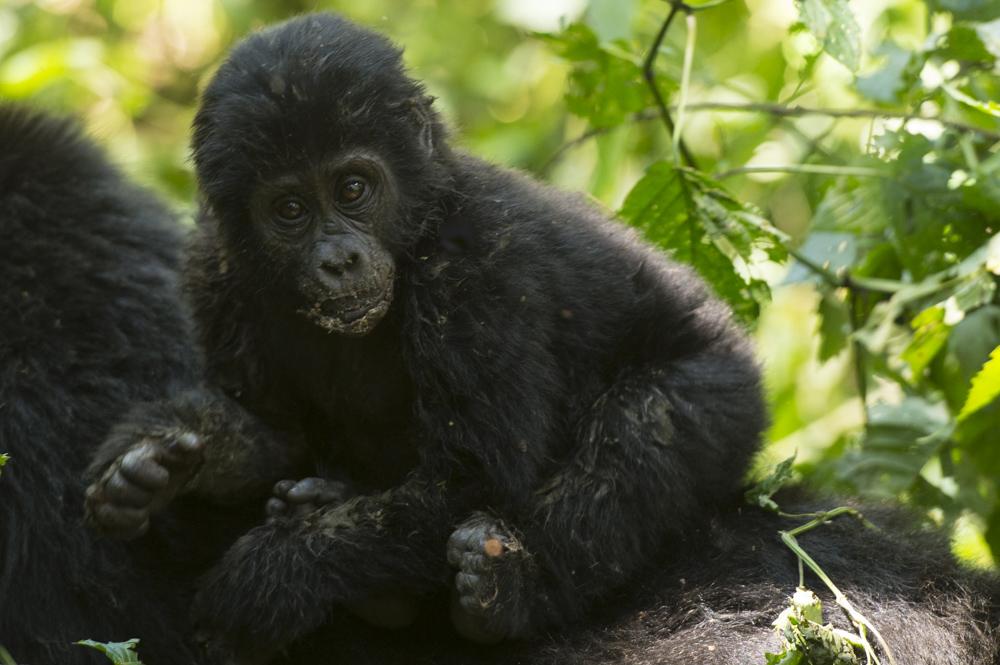 mountain gorilla baby Nshongi Uganda