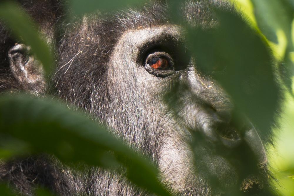 Bikyingi gorilla Silverback