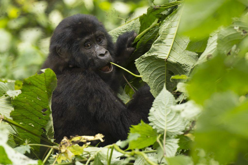 Mountain gorilla Uganda Bikyingi