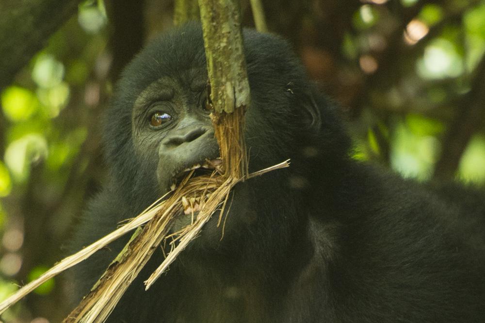 Bikyingi mountain gorilla Uganda