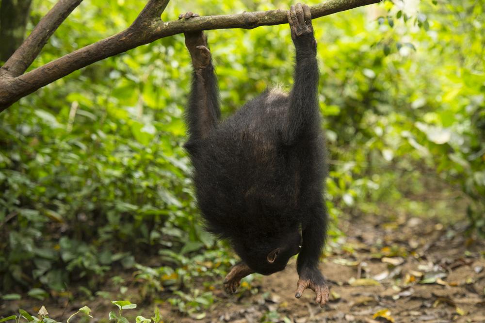 Kyambura chimpanzees Uganda