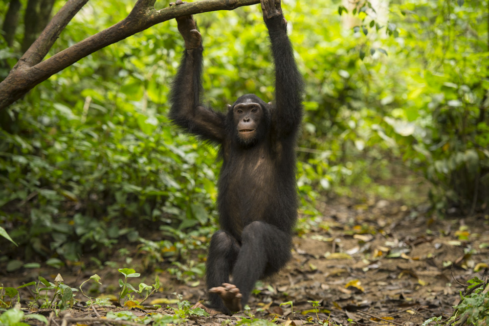Kyambura gorge chimpanzes
