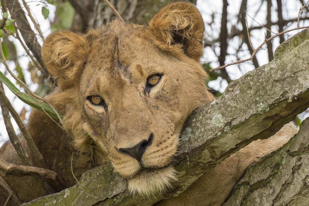 Tree climbiing lion Uganda