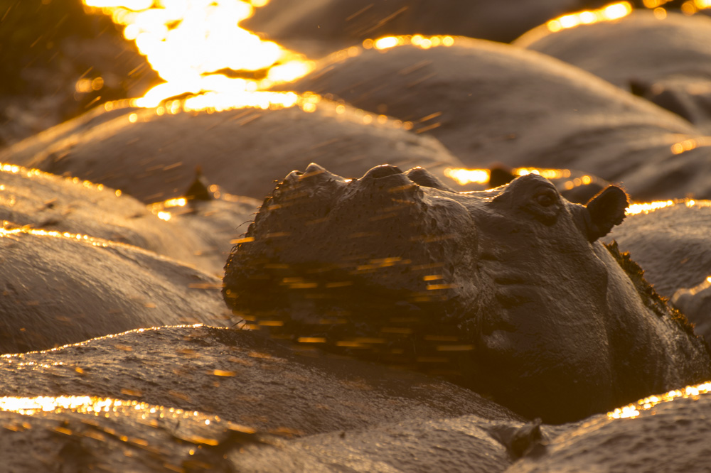 hippopotamus uganda