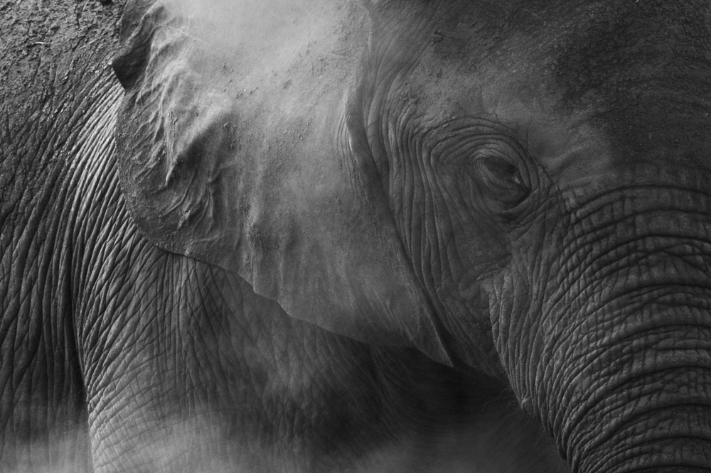 Elephant Queen Elizabeth National Park Uganda