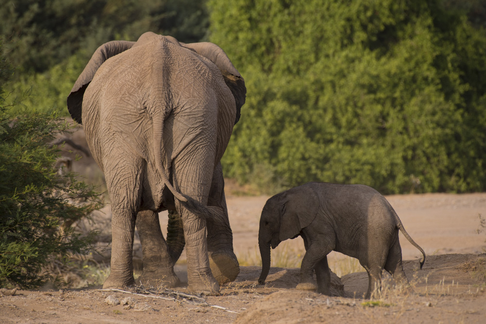 Desert Elephants Namibia Photos And Information About