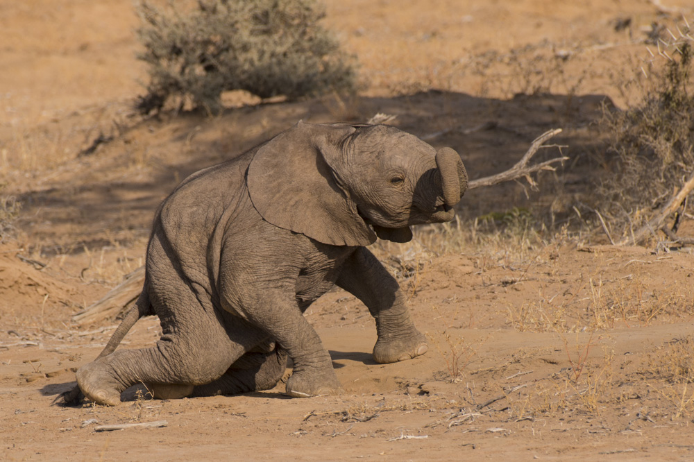 desert elephants namibia baby