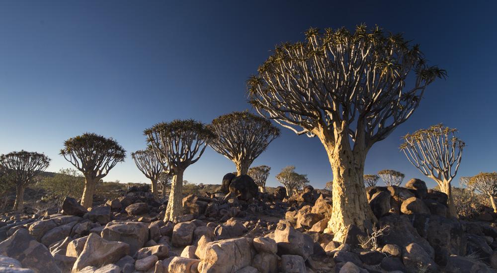 Quiver trees Naimbia