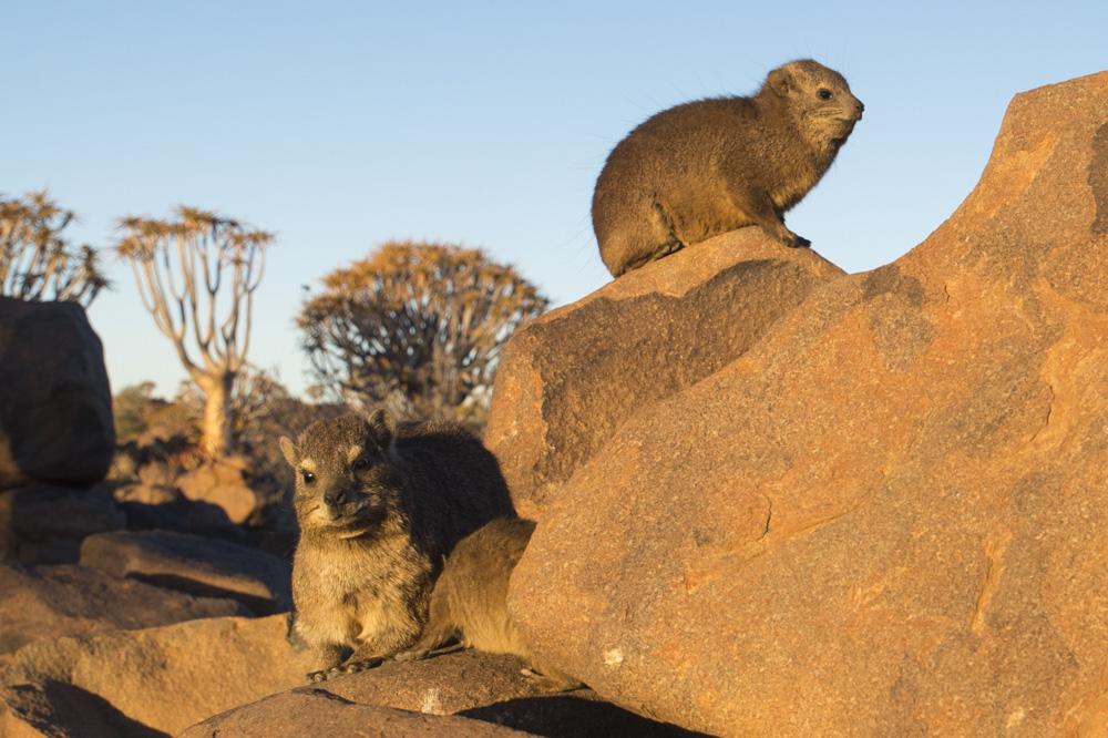 Rock Hyrax Namibia