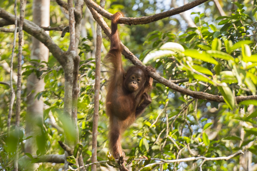 Orangutan photography tour