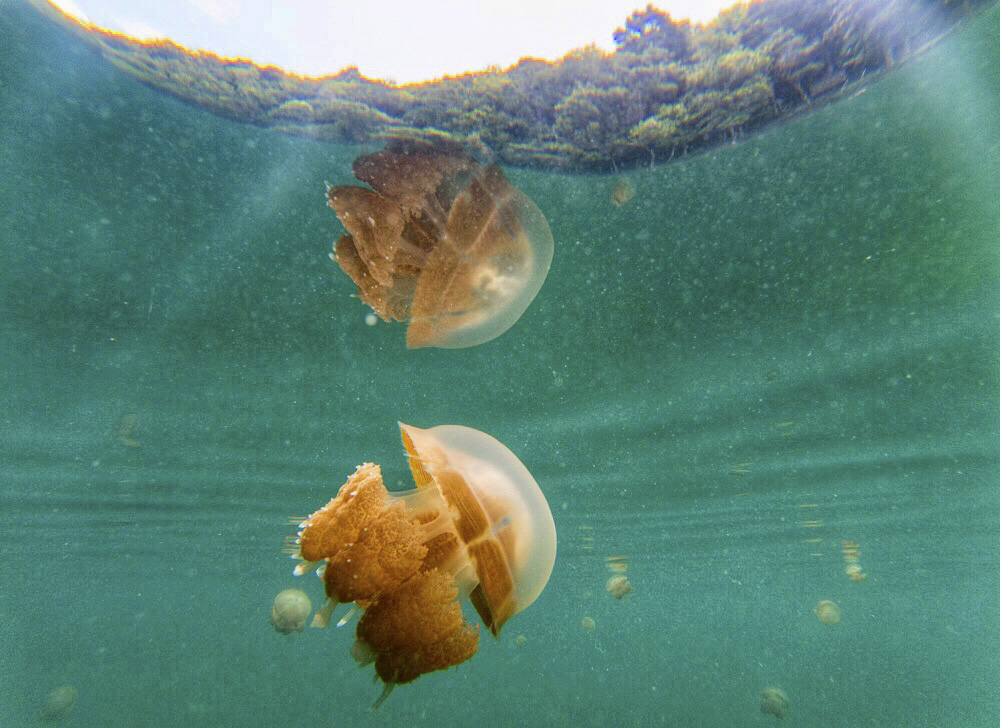 Jellyfish lake Borneo Kakaban