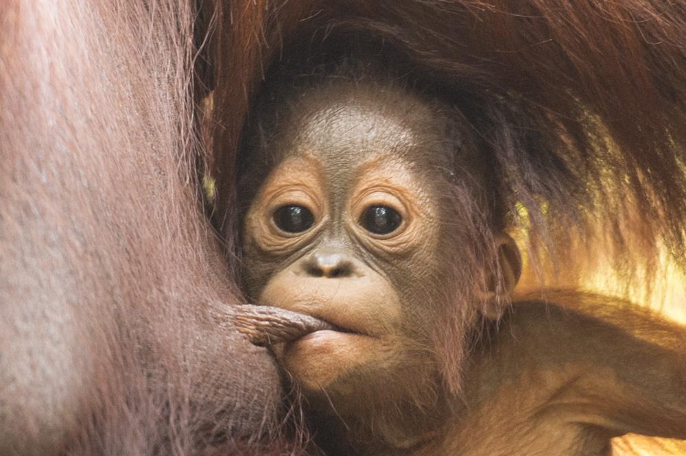 Orangutan babies
