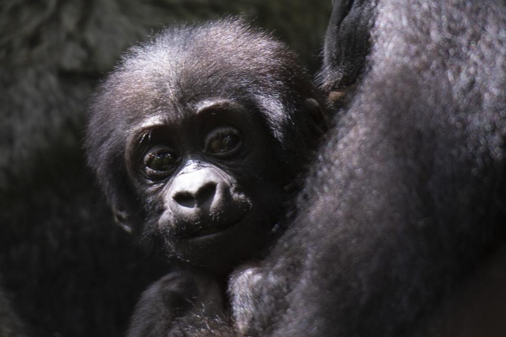 Bweza mountain gorilla baby