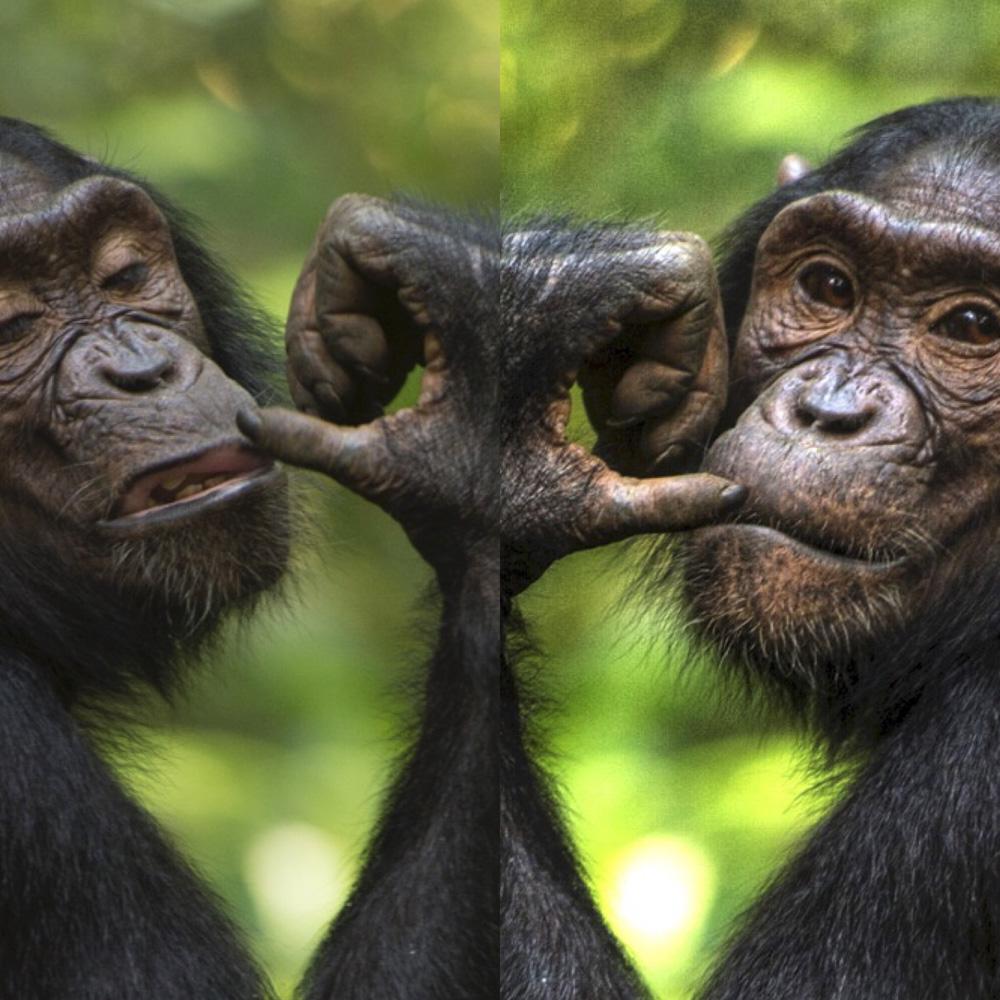 Chimpanzees Kibale Uganda