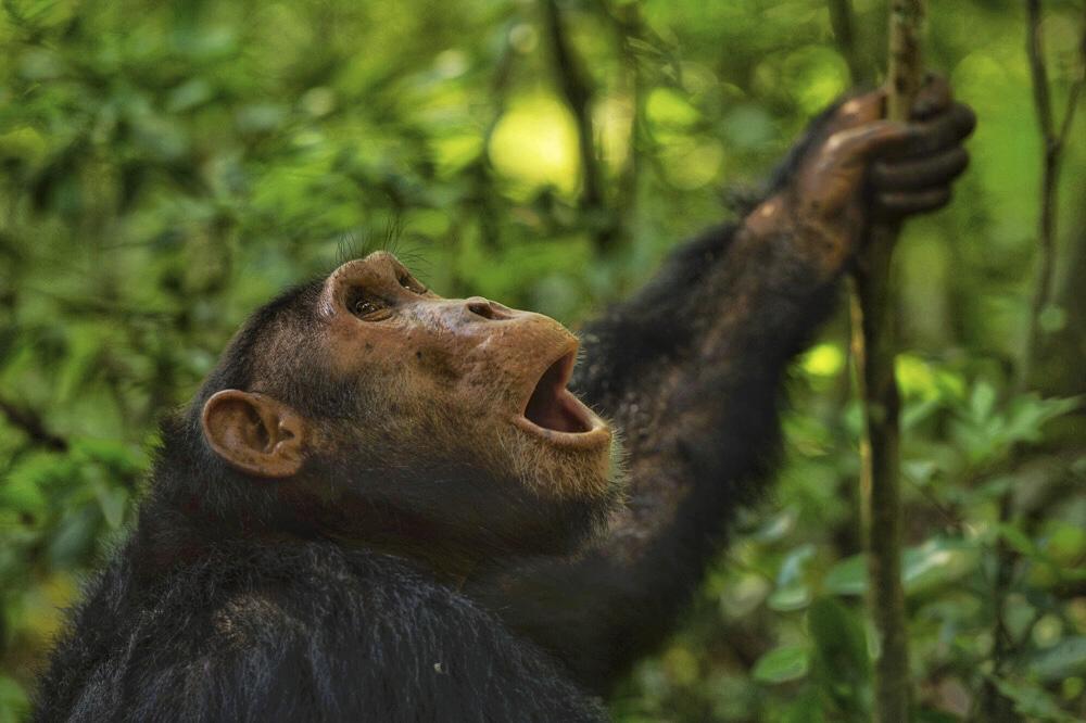 Chimpanzee Kyambura gorge Uganda
