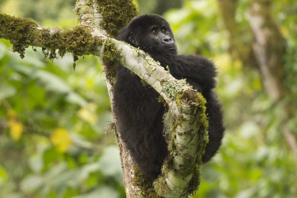Mountain Gorilla Kahungye Uganda