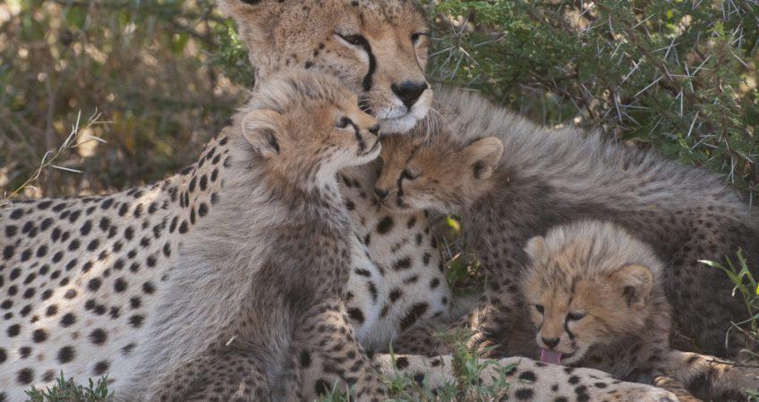 Big cat photographs cheetah