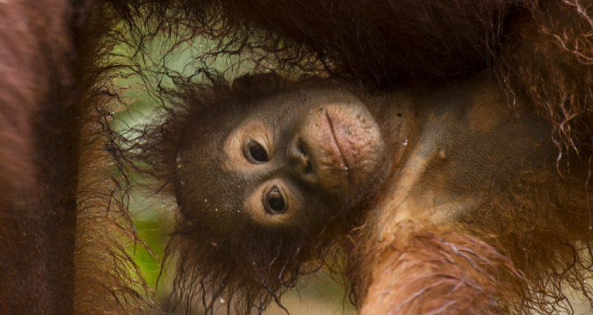 Borneo orangutan trip
