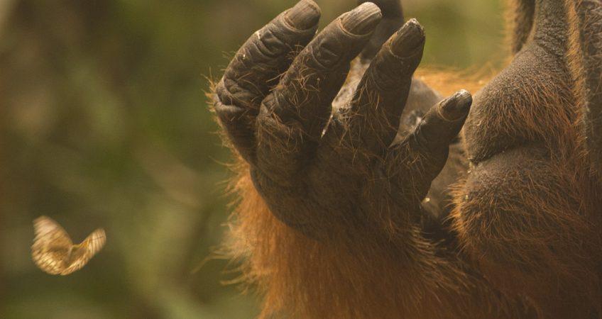 Tanjung Puting orangutan
