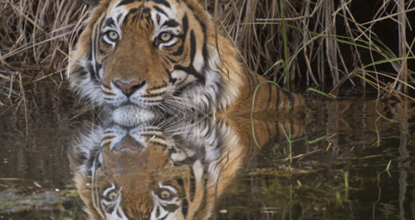India tiger photography water reflection