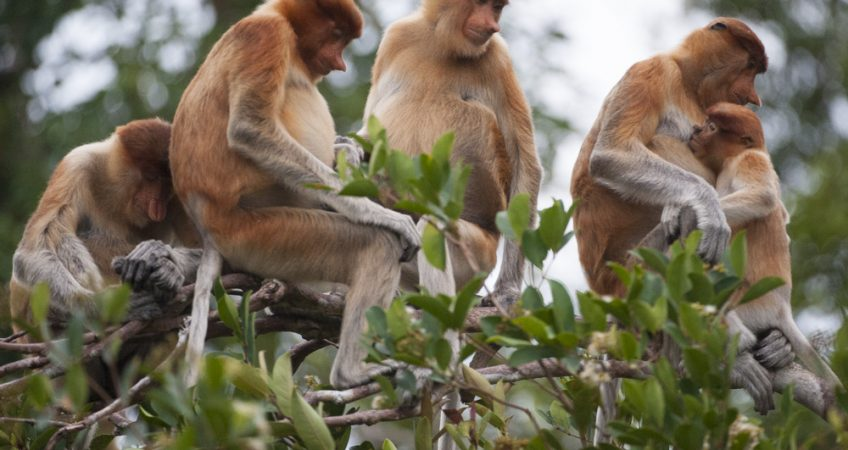 Proboscis monkeys Tanjung Puting information