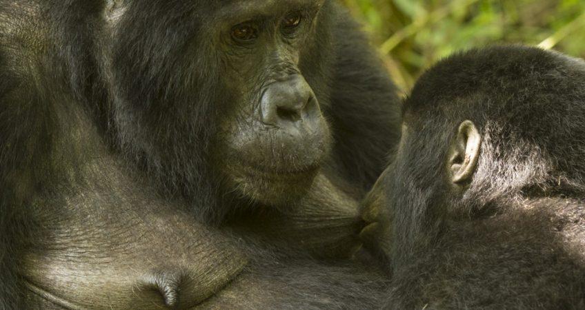 Mountain gorilla photography tour Uganda