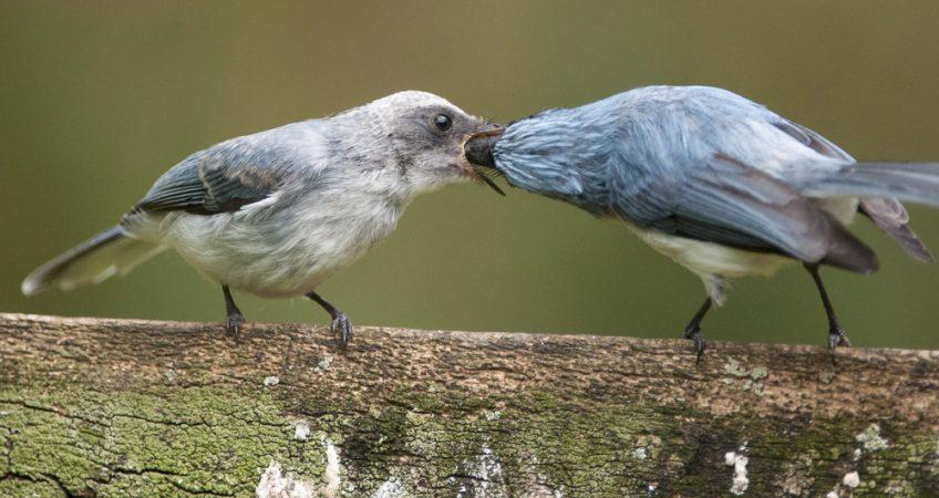 Flycatcher bird African Blue