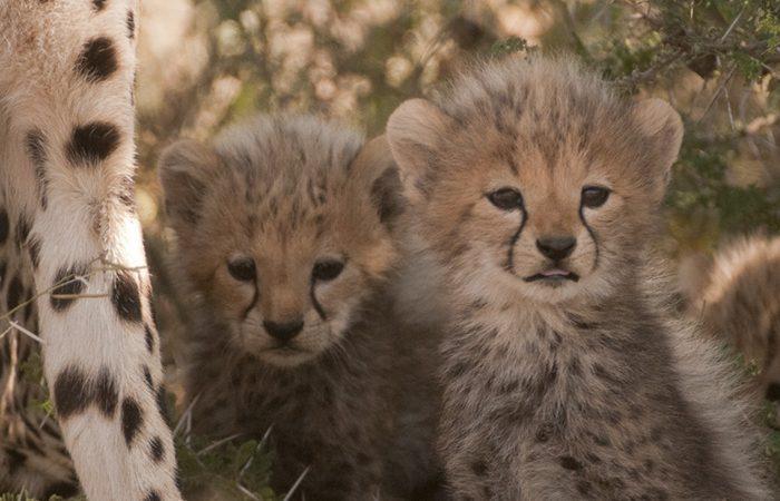 Cheetah cubs Tanzania Africa