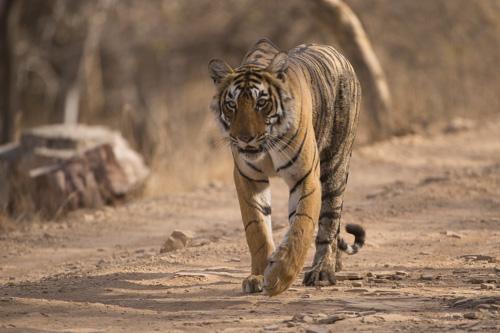 tiger photography holiday Ranthambore India