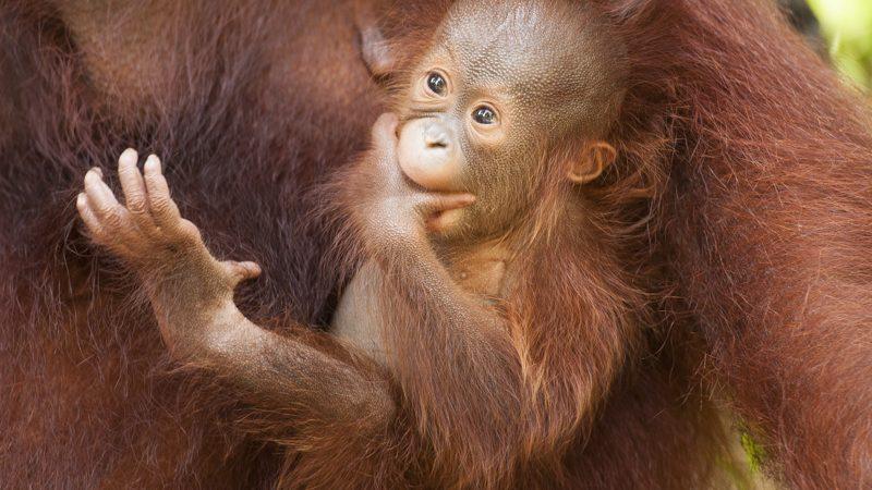 Baby orangutan Tanjung Puting