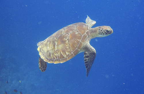 Komodo green turtle