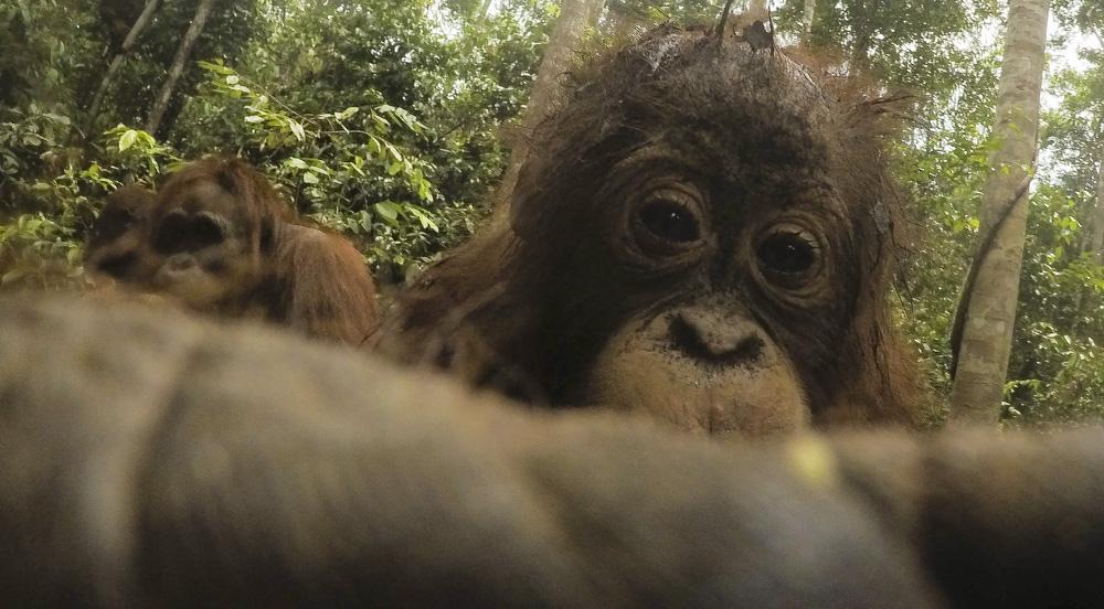 Orangutan selfie photograph
