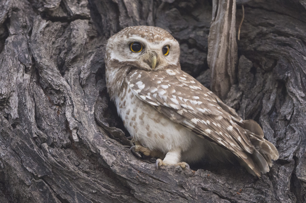 Spotted Owlet India