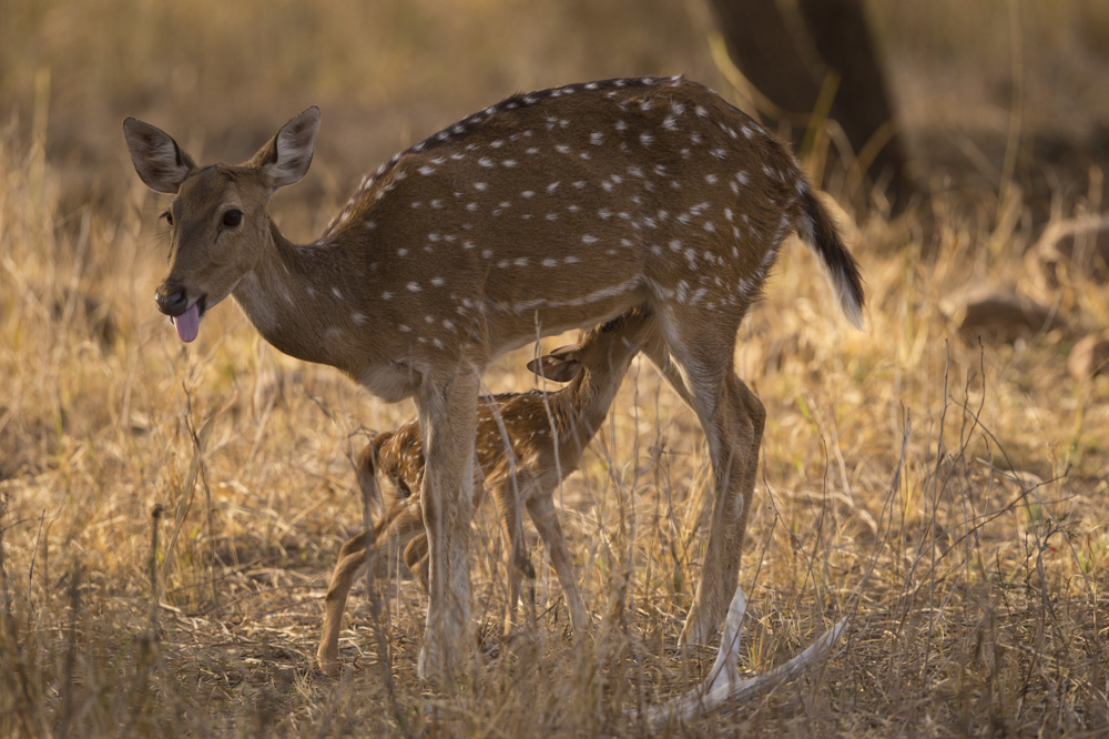 Sotted Deer India