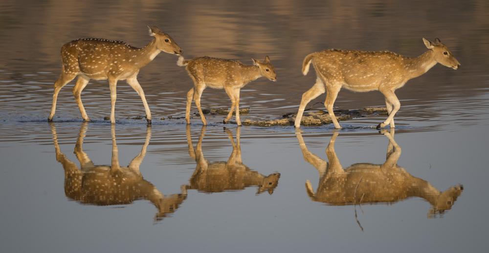 Spotted Deer Ranthambore