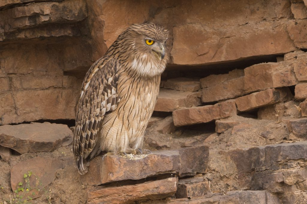 Brown fish owl India