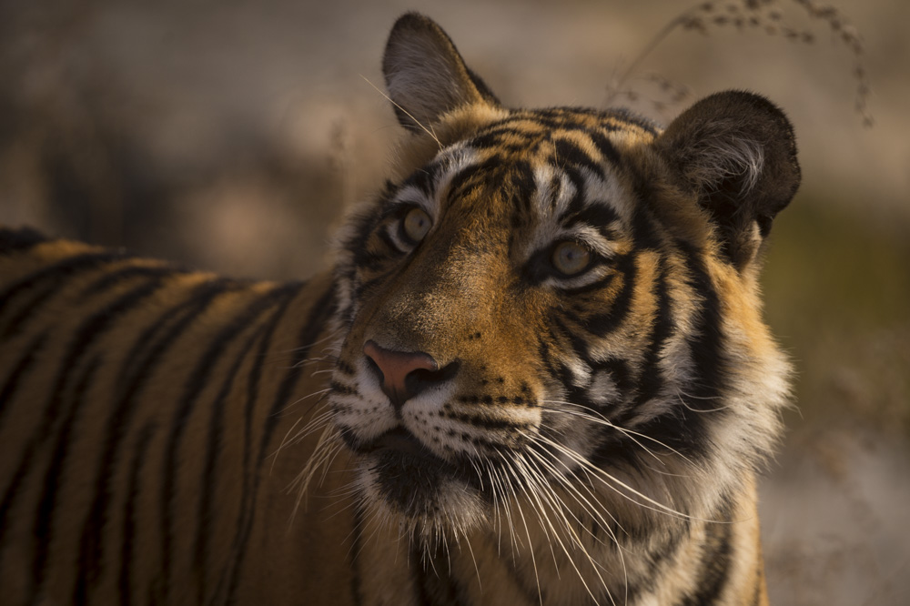 Tiger photography India Ranthambore