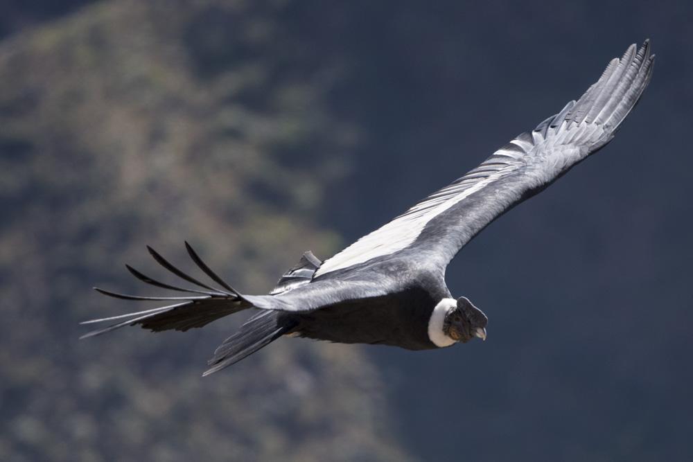 Condor flying Conca canyon