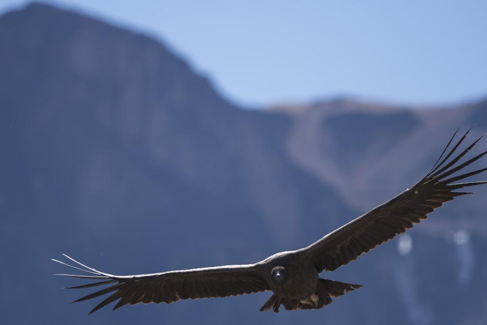 Condors Colca canyon