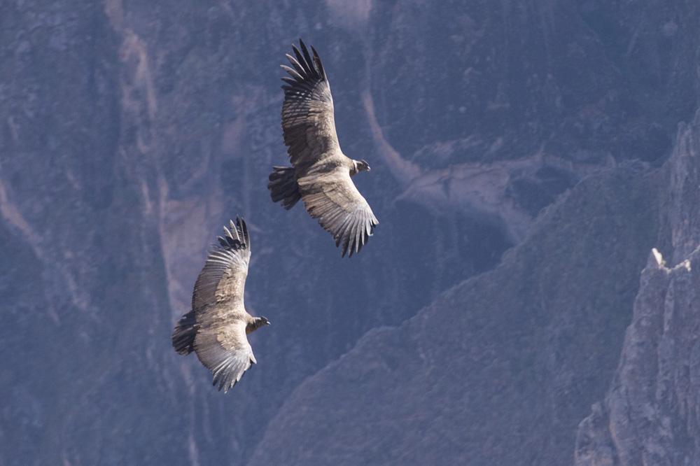Condors Colca canyon Peru