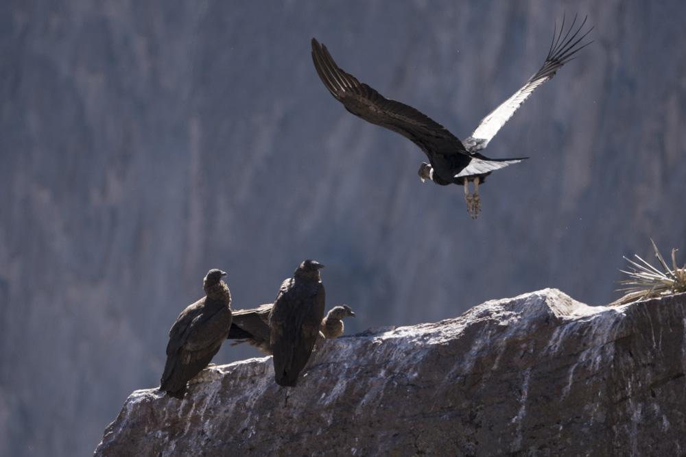 Condors Colca canyon Peru juvenile