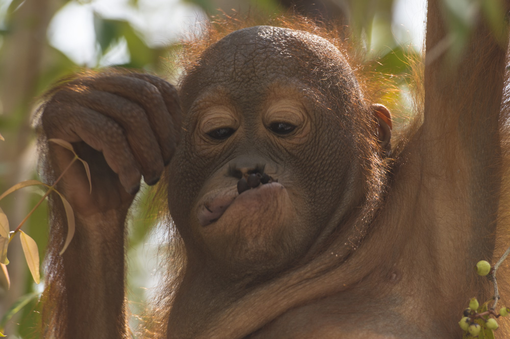 Borneo baby orangutan