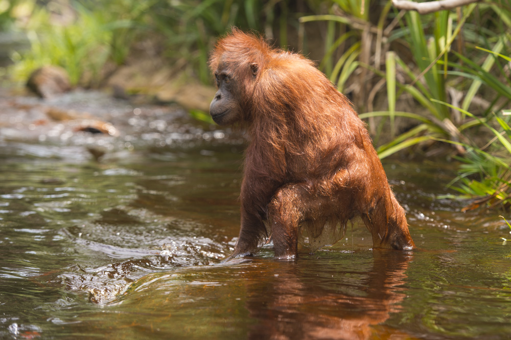 orangutan river photography tour