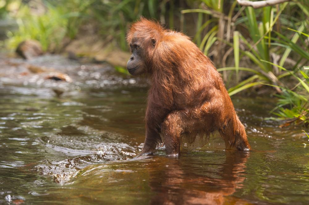 orangutan river photography tour