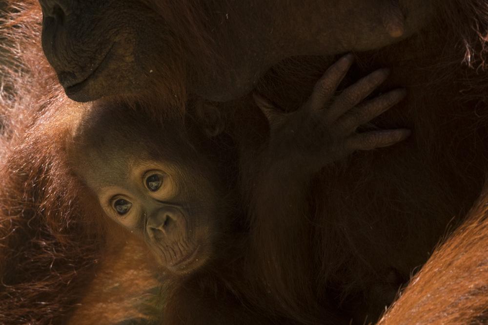 Orangutan photography tour baby orangutan