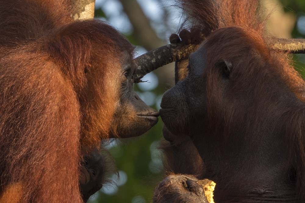 orangutan photography tour