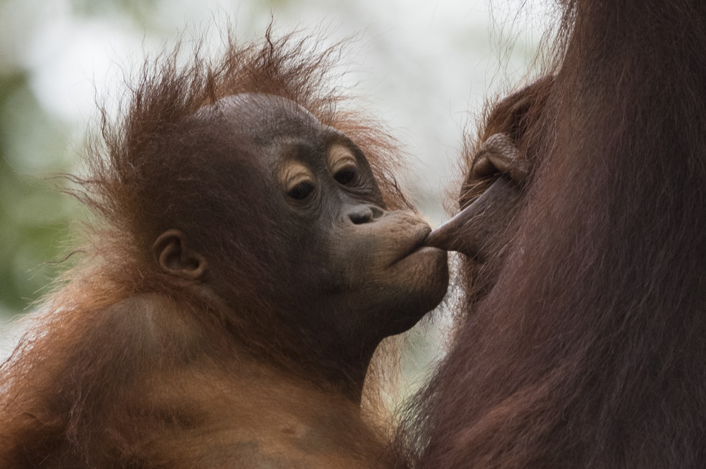 orangutan breast feeding