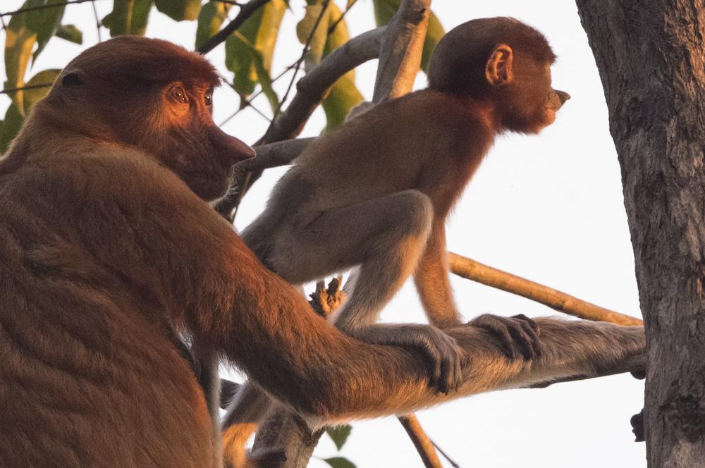 Proboscis monkey Tanjung Puting