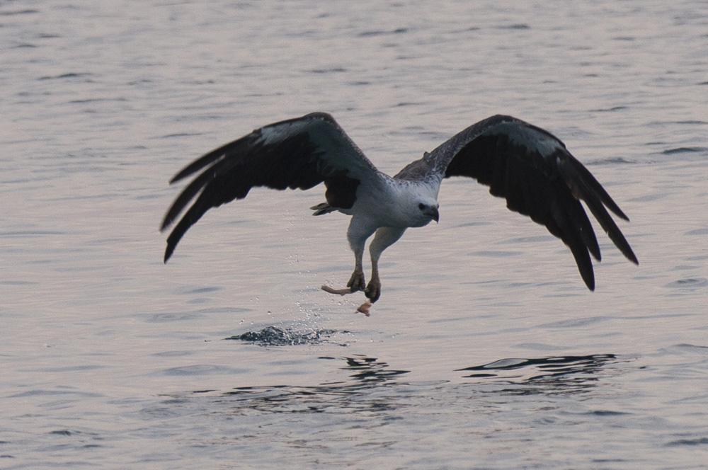 White bellied fish eagle Komodo