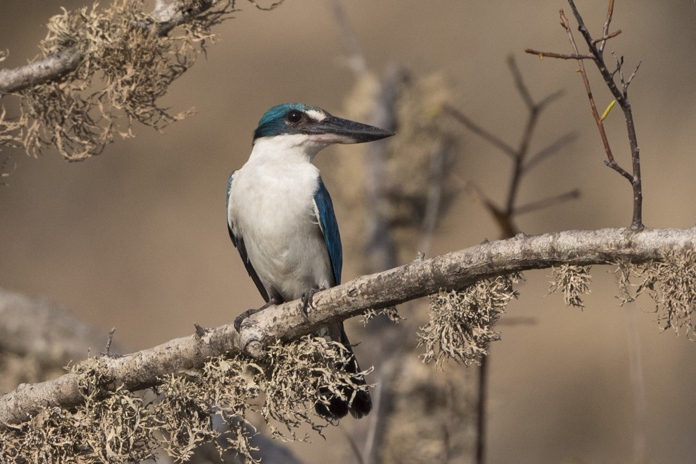 White Rumped kingfisher Komodo